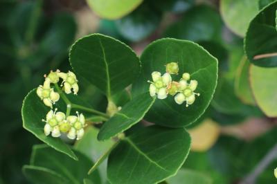 사철나무 꽃 03