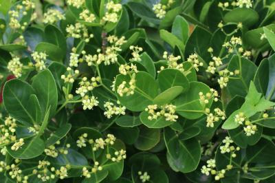 사철나무 꽃 02