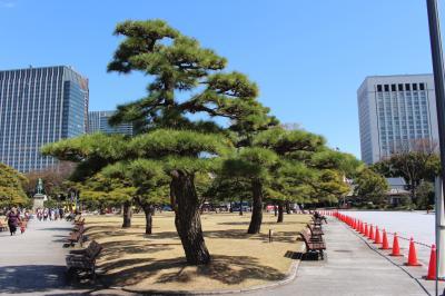 황거 동측정원 소나무