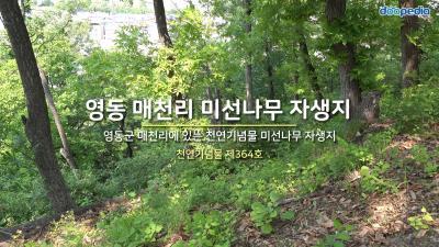 영동 매천리 미선나무 자생지 01