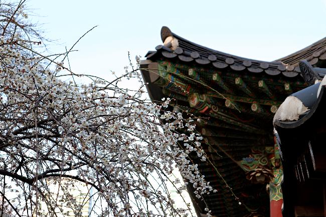 봄소식 전하는 봉은사