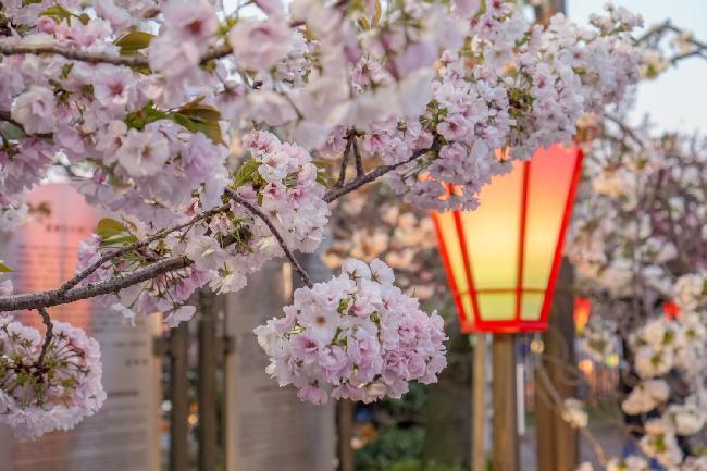 벚꽃엔딩은 오사카에서! 오사카 조폐국 겹벚꽃놀이