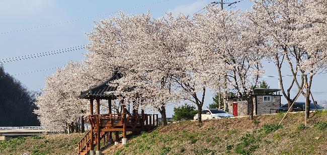 벚꽃 만발 구봉공원 둘레길
