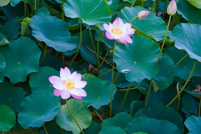 언택트  연꽃 여행#2 광주 하완마을