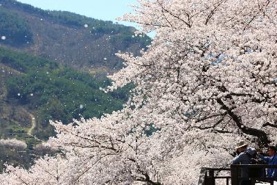 화개장터벚꽃축제