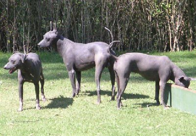 Mexican Hairless Dog 01