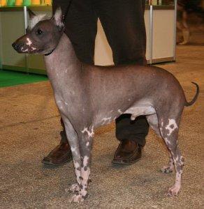 Peruvian Hairless Dog 04