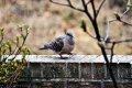 산(멧)비둘기