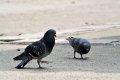 비둘기의 짝짖기