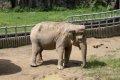 아시아 코끼리