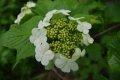 백당나무꽃 (함백산 만항재)