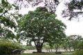독립기념관 느티나무