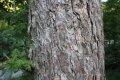 일본잎갈나무
