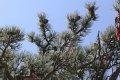화산풍경명승구 연단로 소나무