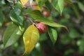 동백나무 열매