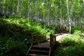 인제 원대리 자작나무 숲길 - 자작나무코스