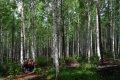 인제 원대리 자작나무 숲길 - 혼효림 조성사업 시험사업지