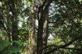 서양측백나무