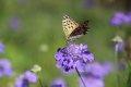 솔체꽃과 표범나비
