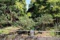 개비자나무