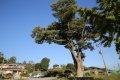 여미리 느티나무