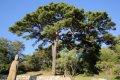 여미리 소나무