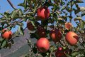 밀양 사과