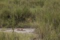 케냐의 사자