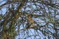 케냐의 아프리카 원숭이