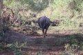 케냐의 아프리카들소