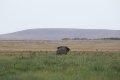 케냐의 아프리카코끼리