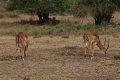 케냐의 임팔라