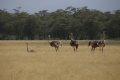 케냐의 타조