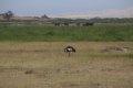 케냐의 회색관두루미