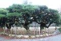 리쓰린(栗林)공원의 소나무