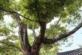 양주 느티나무 보호수