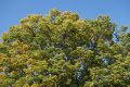 회화나무 (천연기념물)
