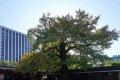 창덕궁 은행나무 (보호수)
