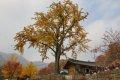 청평사 보호수 은행나무
