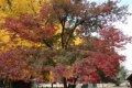성균관 단풍나무