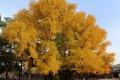 성균관 은행나무 단풍
