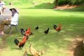 하와이의 야생닭