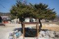 대두서리 향나무