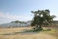 송곡사 향나무
