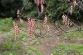 붉은꽃통조화
