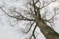 슈마드 참나무