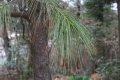 부탄소나무
