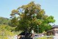 죽산리 죽림팽나무