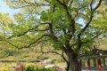 죽산리 화산느티나무