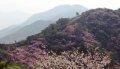 강화 고려산의 봄